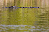 An American alligator Alligator mississippiensis, swims partially submerged along the Nine Mile Pond Canoe Trail in Everglades National Park, Florida.