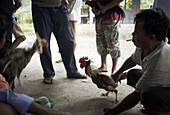 BALI, INDONESIA - MARCH 4:  Men purposely agitate two roosters in preparation for a cockfight in the town of Bangli in Bali.