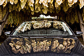 Tobacco leaves hung out to dry in a barn are reflected in a car's glass and chrome surfaces.  September 29, 2008