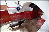 A bullring worker with the help of a long pole and height stays clear as a bull of over 300 kilo's enters the holding pens for the coming afternoons bullfight  at Plaza de Toros in the town of Cadereyta, Nuevo Leon, Mexico.