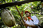 Workers pick cacao pods Theobroma cacao, among lush, green trees and vegetation in Choroni, Venezuela.
