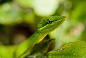 Amazon Rainforest, Puerto Maldanado, Peru.  A stem leaf snake rests in an alert position in the amazon rainforest.