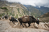 A string of pack animals leave no room for trekkers along a trail on the edge of a large cliff in Nepal.