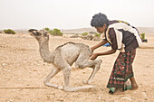 A young bedouin boy helps a newborn camel to its' feet in the Jabal Samhan, Oman.