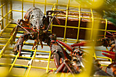 Freshly hauled lobsters in trap off the coast of Maine. Lobstermen Bernd Wolff and his father Hans Wolff are Maine lobstermen working out of Biddeford Pool on the southwestern coast.