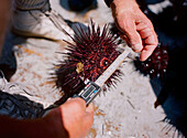 A sea urchin is measured onboard a dive boat in San Diego,  Ca. According to many,  the best urchins - the big Pacific Reds - come from the kelp forests off Point Loma,  Ca.,  thousands of miles from countries that pay the big money for fresh urchin roe.