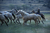 Cowboys round up horses as part of the Artist's Ride, an annual event held near Wall, South Dakota which features Old West actors and models posing for western painters and sculptors. The photos the artists take during this event provide visual material f