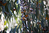 PACIFIC GROVE, CA - DECEMBER 9, 2006: Monarch Butterflies cling to Eucalyptus branches in the Pacific Grove Butterfly Sanctuary. photo by Ian Shive/Aurora