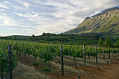 The wine vineyards of Clouds Estate, situated below the Drakenstein mountains in the Banhoek Valley, near the towns of Stellenbosch and Franschhoek, South Africa.  The wine country in South Africa is well known, and is visited by many international touris