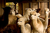 A group of Alpacas Vicugna pacos, at the Safe Haven Alpaca Farm, B&B, and Country Store in Hampton, Connecticut.