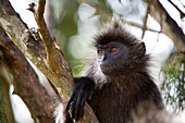 KUALA SELANGOR, MALAYSIA - JUNE 18, 2007: A wild Silver-leaf monkey more commonly known as the silvered langur trachypithecus cristatus, relaxing in a tree. photo by Ian Shive/Aurora