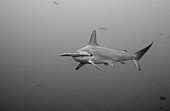 Graphic black and white image of a Scalloped hammerhead shark, Sphyrna lewini, Galapagos Islands.  The downward angle of the pectoral fins is one of the signals of aggressive or territorial behavior.
