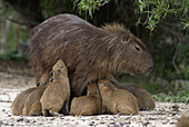 'A swarm of baby Capybaras hydrochaeris hydrochaeris, or ''carpinchos'' try to nurse from an  adult female cabybara at Estancia Rincon del Socorro, Esteros del Ibera, Corrientes Province, Argentina.  The estancia, once a working cattle ranch, is being con
