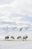 Four elk grazing on February 11, 2008 on the elk refuge near Jackson, Wyoming.