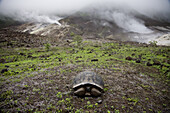 Isabella Island, Galapagos, Ecuador - February 2007: A young, giant tortoise sits on the floor of Alcedo Volcano in the Galapagos as steam vents bellow in the background. The island is known for its population of giant tortoises.