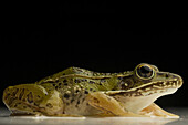 Southern Leopard Frog Rana sphenocephala Rana utricularia, is common to most Eastern states. A nocturnal animal, it breeds all year round and can be found near any freshwater location. macro studio