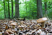 Yellow boletuses, Schorfheide-Chorin Biosphere Reserve, Neudorf, Friedenfelde, Uckermark, Brandenburg, Germany