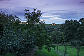 Quince and fruit tree orchard with Maria im Weingarten pilgrimage church in the distance at dusk, Volkach, Franconia, Bavaria, Germany