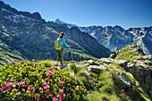Woman hiking through alpine roses towards Monte Disgrazia, Sentiero Roma, Bergell range, Lombardy, Italy
