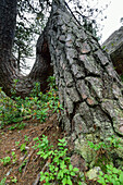 Bent trunk of pine tree, Pinus Montana, Natural Park Mont Avic, Graian Alps range, valley of Aosta, Aosta, Italy