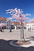 Almond Blossom in the Market Place, Landau, Deutsche Weinstrasse (German Wine Road), Rhineland-Palatinate, Germany, Europe
