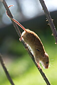 Harvest mouse (Micromys minutus) the smallest British rodent by weight, with prehensile tails to help them climb, United Kingdom, Europe