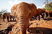 Juvenile elephants (Loxodonta africana) at the David Sheldrick Elephant Orphanage, Nairobi National Park, Nairobi, Kenya, East Africa, Africa