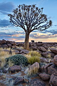 Quiver tree (kokerboom) (Aloe dichotoma) at sunset in the Giant's Playground, Keetmanshoop, Namibia, Africa
