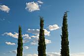 Zypresse (Cupressus sempervirens) und blauer Himmel, Toskana, Italien