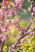 Redbud tree branches in full bloom