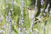 Sphingidae flying among flowers