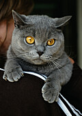 Gray Chartreux cat on person's shoulder, close-up