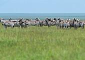 Africa, Tanzania, herd of Plains Zebras (Equus quagga) in grassland, Tanzania, Africa