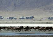 Africa, Tanzania, herd of Blue Wildebeests (Connochaetes taurinus) running across muddy savannah