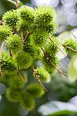 Green rambutans, selective focus