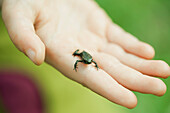 Tiny Gardiner's frog (Sooglossus gardineri) on person's palm