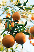 Orange tree heavy with ripening fruit