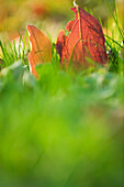 Autumn leaves in grass, close-up