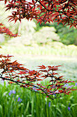 Japanese maple tree in garden, cropped view