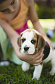 Girl petting beagle puppy