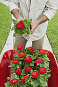 Gardener standing with wheelbarrow full of zinnias