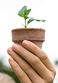 Hand holding potted seedling