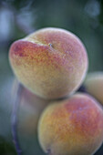 Peaches hanging from soft focus tree