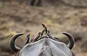 Five Yellow-billed Oxpeckers perching on head of Cape Buffalo