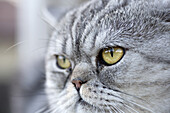 A gray domestic cat looking away curiously