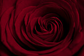 A red rose extremely close-up, full frame
