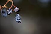 Still life of raisins on the vine