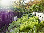 Lettuces growing in vegetable garden
