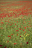 Red poppies blooming in meadow