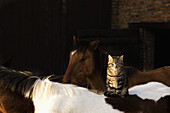 Tabby cat sitting on horse